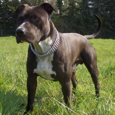 Assurance animaux American Staffordshire
