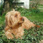 Assurance ou mutuelle santé du Basset Fauve de Bretagne