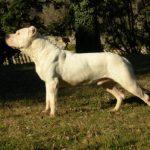 Assurance ou mutuelle santé pour un Dogue Argentin