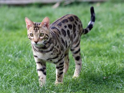Quelle assurance animale souscrire pour votre chat Savannah