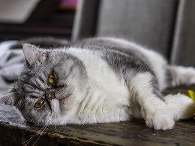 dysplasie de la hanche chat-2