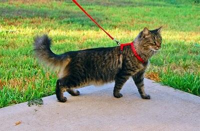 Promener son chat en laisse