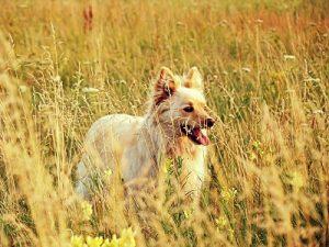 La piroplasmose - babésiose, canine