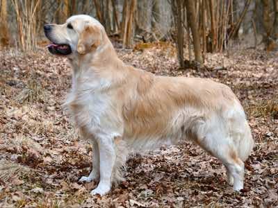 Golden_retriever assurance mutuelle sante chien