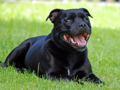 Assurance chien staffordshire bull terrier