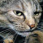 parvovirose du chat