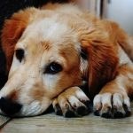 maladie de lyme chez le chien