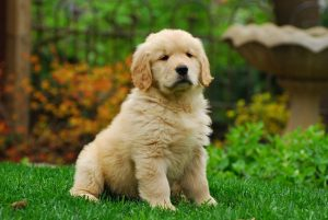 chiot-golden-retriever-mammouth-dechaine-assurance