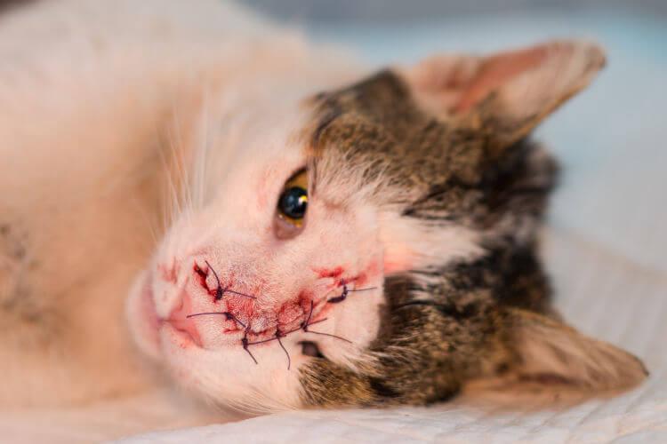 chat après opération vétérinaire d'ablation de tumeure cancéreuse