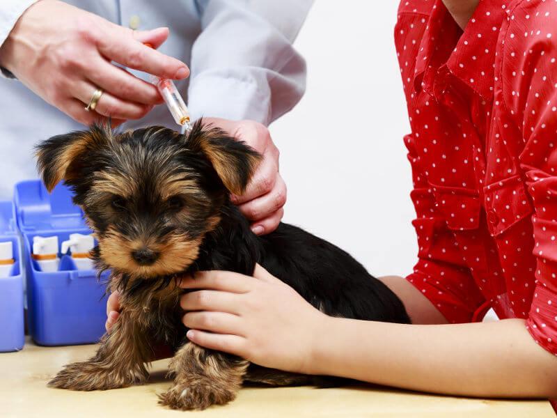 un chiot de 6 mois chez le vétérinaire
